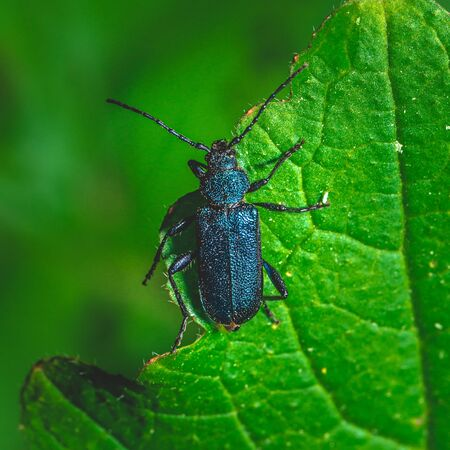 Square photo of nice bug. Beatle has metal blue color on whole body. Insect is perched on green leave of spring plant. Stock Photo - 129567591