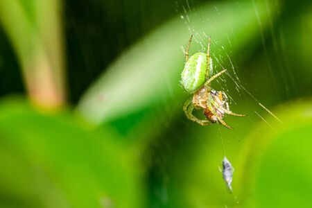 Horizontal photo with nice spider who eats bug. Spider is perched on his web with green leaves in background. Spider has green body with orange head and with few dots. Stock Photo - 129567594