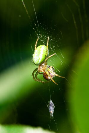 Vertical photo with nice spider who eats bug. Spider is perched on his web with green leaves in background. Spider has green body with orange head and with few dots. Stock Photo - 129567596