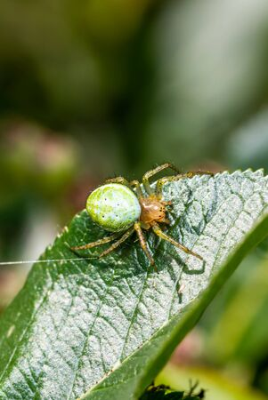 Vertical photo with nice spider. Spider is perched on green leaves. Spider has green body with orange head and with few dots. The black eyes are visible.