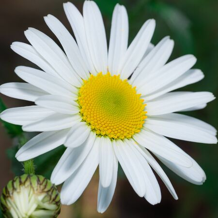 Square photo with detail of daisy bloom. The bloom has nice center with golden color and full of pollen. Leaves are pure and bloom with clear white color. Stock Photo - 129567595