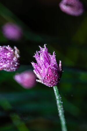 Vertical photo with the bloom of chive plant. The plant has nice purple and pink color. Surface of bloom is fully covered by many water drops. Stock Photo - 129567601