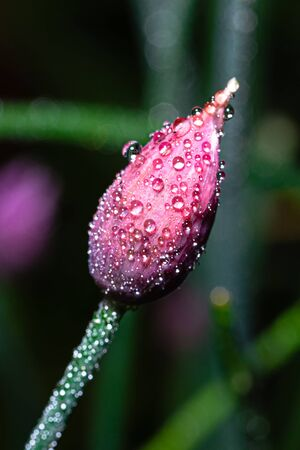 Vertical photo with the bloom of chive plant. The plant has nice purple and pink color. Surface of bloom is fully covered by many water drops. Stock Photo - 129567598