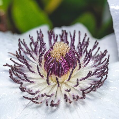 Square photo of the center of white plant. The center consists of many pistils with dark purple color. Bloom and pistils are covered by many water drops. Stock Photo - 129567602