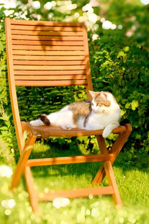 Vertical photo with adult white and tabby cat. Cat is resting on wooden chair. Chair is placed in the garden on grass with green shrub in background. Stock Photo
