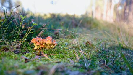 Bunch of small autumn mushrooms in green moss