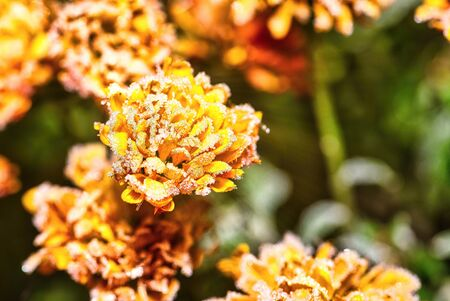 Horizontal photo with detail of vibrant orange bloom which is fully covered by frost. Ice is visible on flower. Other blooms are in background. Stock Photo