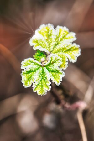 Vertical photo with twig with couple of green fresh leave on the top. Leaves are covered by frost.