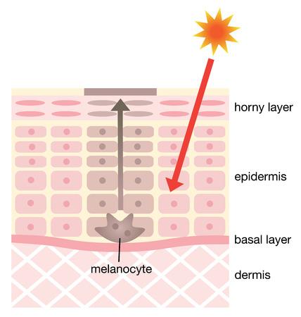 顔しみの皮膚のメカニズム