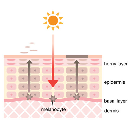 epidermis: skin spot mechanism