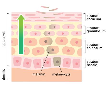 skin cell turnover Stock Illustratie