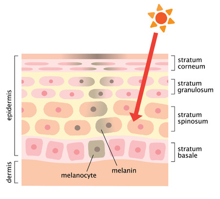 mecanismo de la piel de las manchas faciales Ilustración de vector
