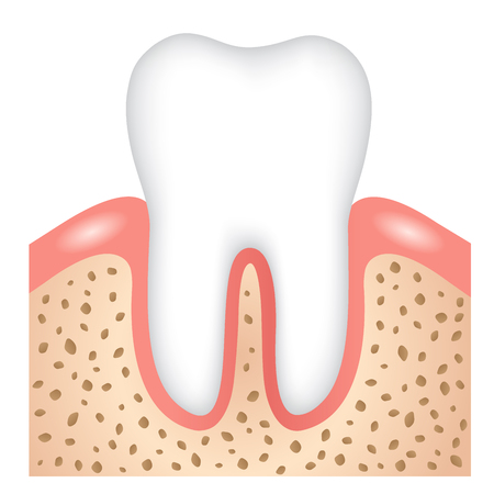 healthy tooth, gums and bone illustrtion. dental health concept