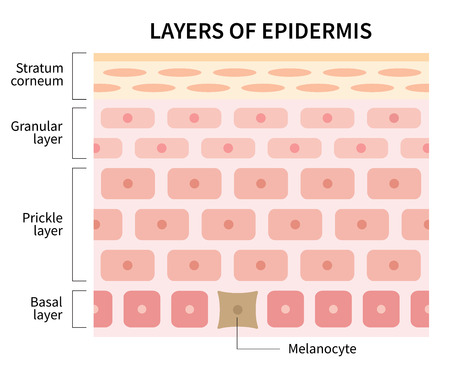 structure of human skin layers and cells of epidermis. beauty skin care and medical use illustration