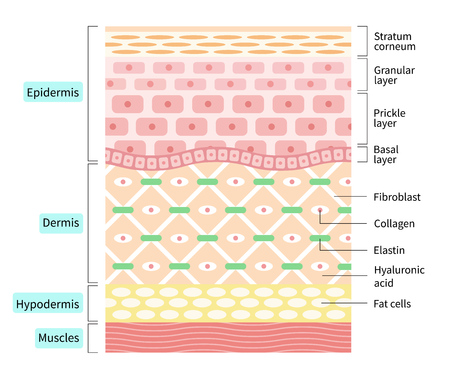 layers of the human skin. skin and health care concept
