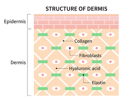 structure cells of dermis illustration isolated on white background. skin and health care concept