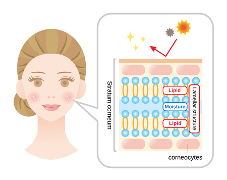 healthy skin diagram with woman face. stratum corneum, the most superficial layer of the epidermis has a lamellar structure composed of layers of lipids and mo isture