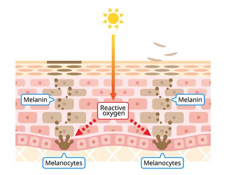 mécanisme de l'illustration du renouvellement cellulaire de la peau. Mélanine et mélanocytes avec couche de peau humaine. concept de beauté et de soins de la peau Vecteurs
