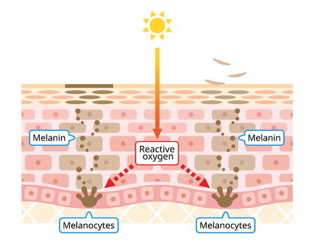 mechanism of skin cell turnover illustration. Melanin and melanocytes with human skin layer. beauty and skin care concept