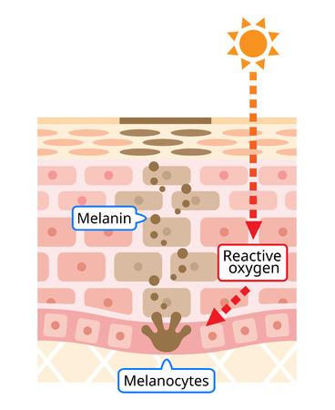 illustration infographique du renouvellement cellulaire de la peau. Mélanine et mélanocytes avec suie noire Vecteurs