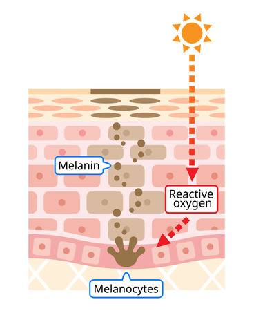 infographic illustration of skin cell turnover. Melanin and melanocytes with dark soot