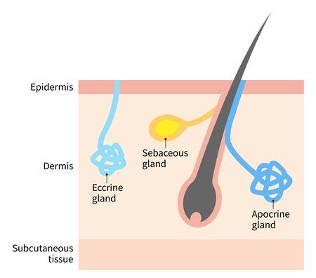 human body of apocrine, eccrine and sebaceous gland illustration. Isolated on white background Ilustração