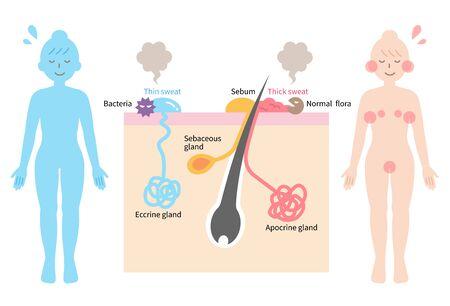 Körpergeruch wird durch Bakterien verursacht, die Schweiß abbauen. Hautschicht und Abbildung des menschlichen Körpers. Isoliert auf weißem Hintergrund