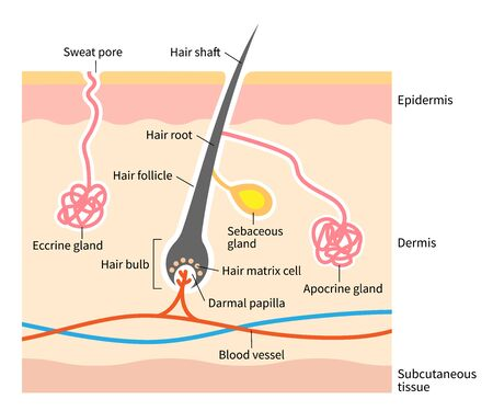 human skin layer with hair follicle, sweat and sebaceous glands. Medical, beauty, and health care use