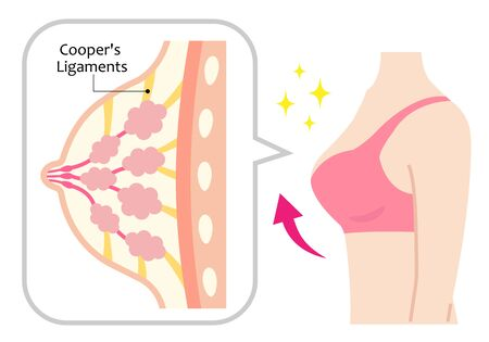 structure of firm and woman's body. cooper's ligaments shape and support chest. beauty body and care concept