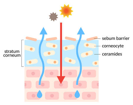dry skin have fewer ceramides that lead to damaged skin barrier, causing damaged skin. isolated on white background