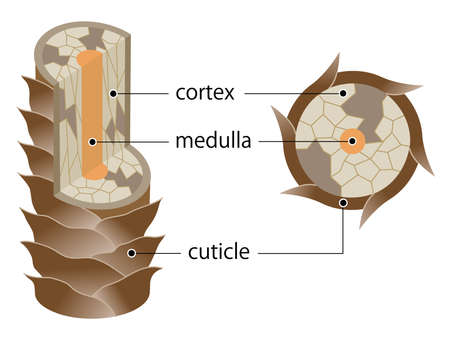 The Structure of damaged hair illustration. Cuticle, cortex, and medulla. Isolated on whitebackground