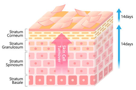 skin cell turnover process illustration. Skin care and beauty concept Vecteurs