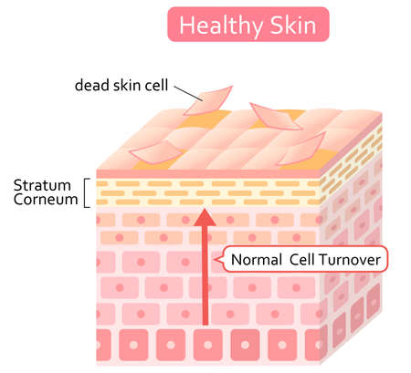 cell turnover is process of shedding dead skin cells and replacement with younger cells.  Isolated on white background
