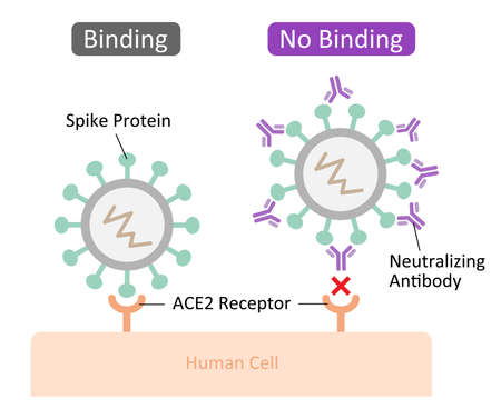 Neutralizing antibodies bind to spike proteins and prevent the virus from binding and entering the human cell. Health care and prevention concept.
