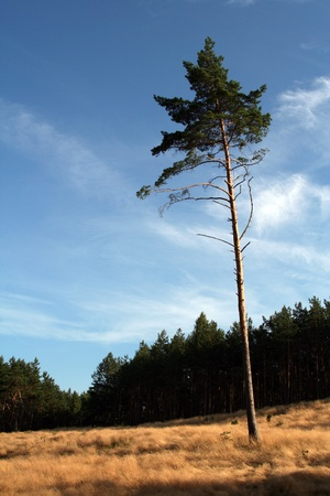 Lonely pine against forest. Stock Photo - 10445092