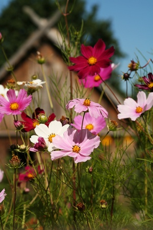 vibrant cottage: Rural scenery with cosmos flowers (aster genus)