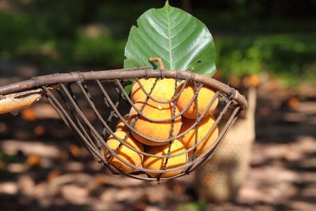 long handled: The Santol in long-handled fruit-picker