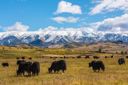aden: Snow yak Stock Photo