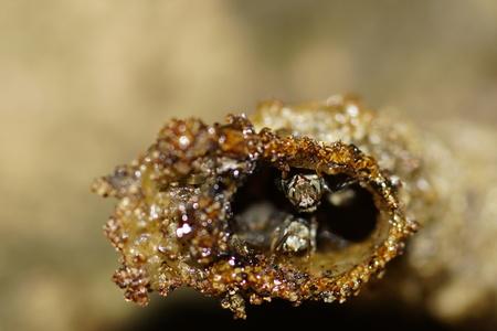 collina: Stingless bee