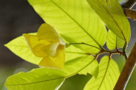 annonaceae: Dwarf Ylang-Ylang Shrub Stock Photo
