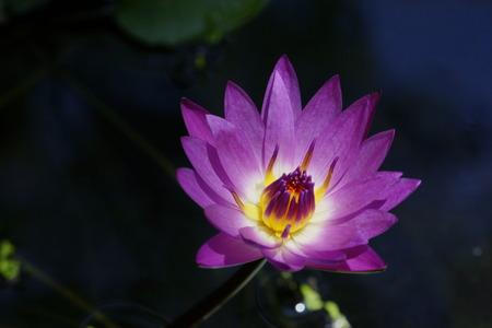 dark: Lotus in the dark
