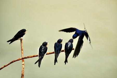 golondrinas: Swallows