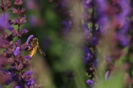 farina: Bee on purple flower Stock Photo