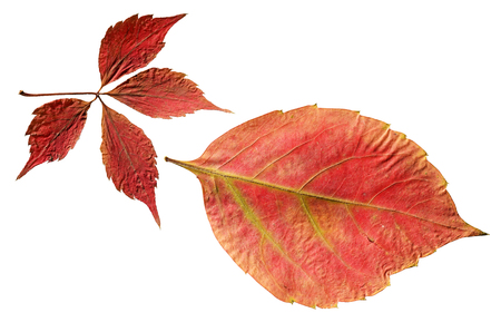 sear and yellow leaf: dry leaves Stock Photo
