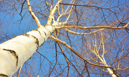 ramification: Birch trees in winter