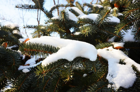 Pine branches in winter