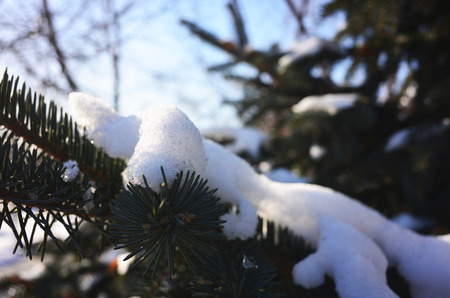 ramification: Pine branches in winter