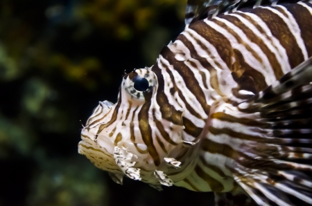 zebrafish: Reef fish