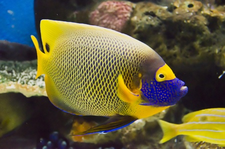 royal angelfish: Reef fish.