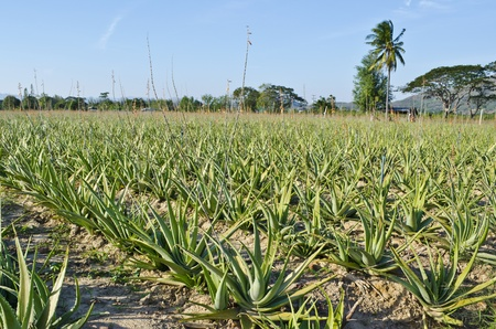Cultivation of aloe vera in thai Stock Photo